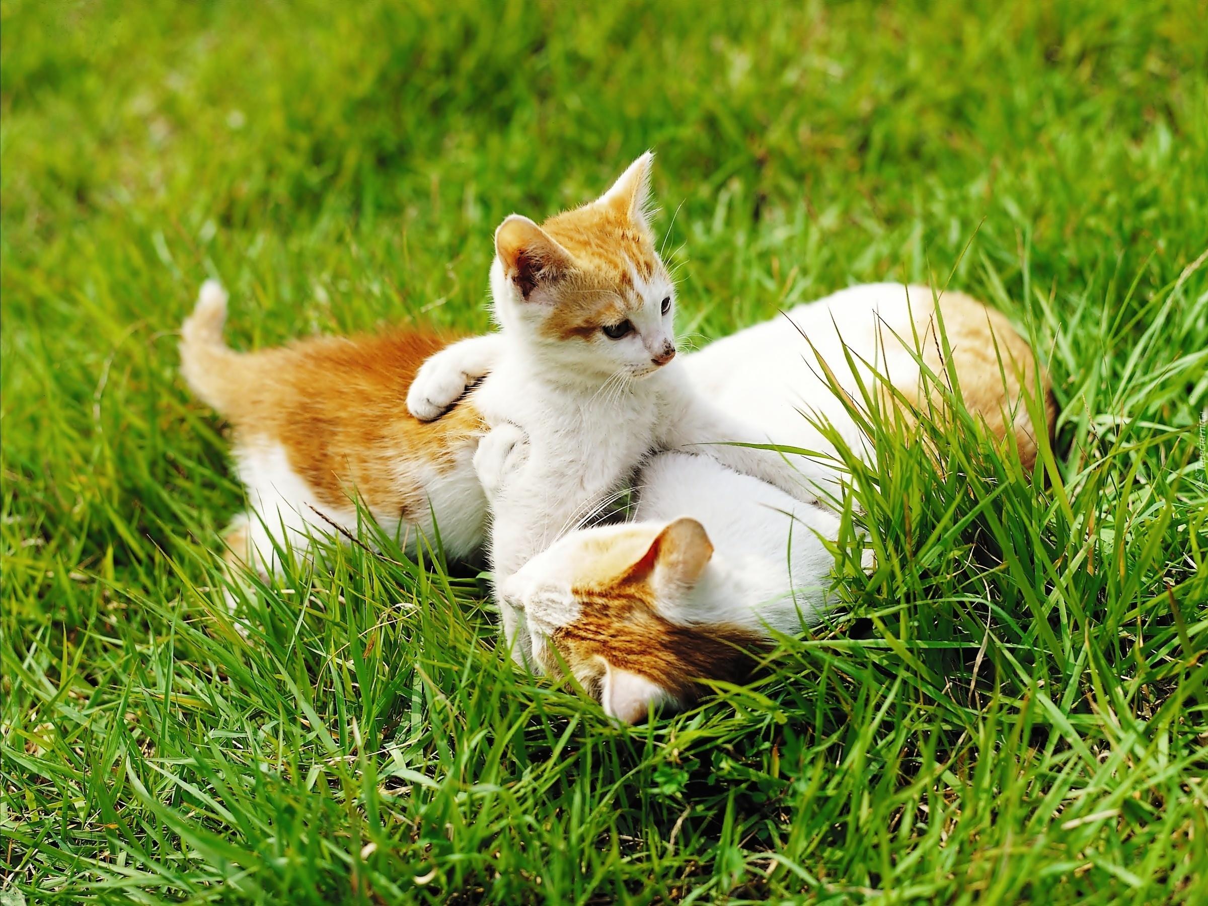 Чумка у кошек 15 фотография