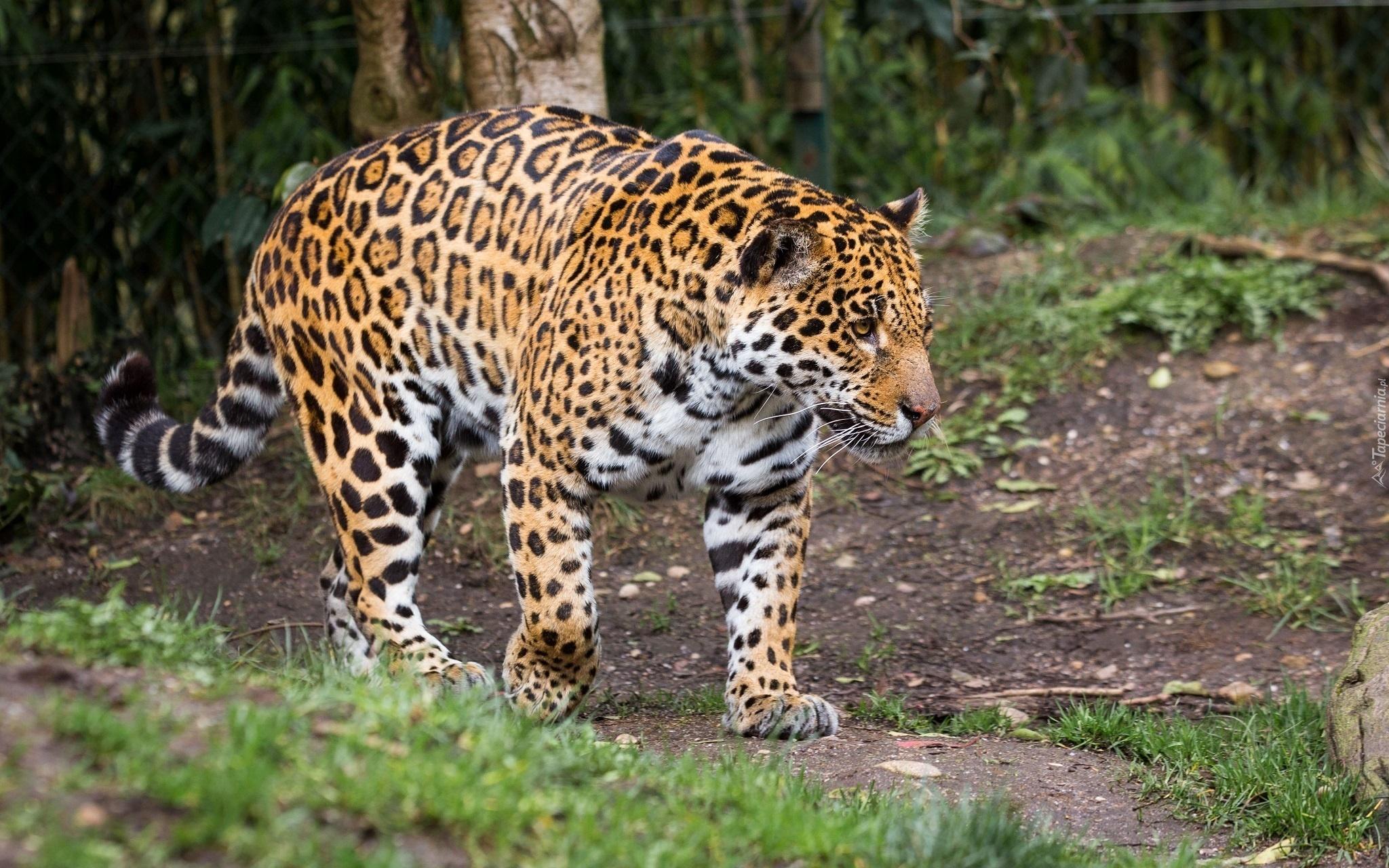 jaguar spaceruje le n dr k. Black Bedroom Furniture Sets. Home Design Ideas