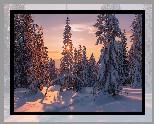 Zima, Śnieg, Promienie słońca, Las, Świerki