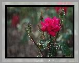 Róża, Pąki, Deszcz