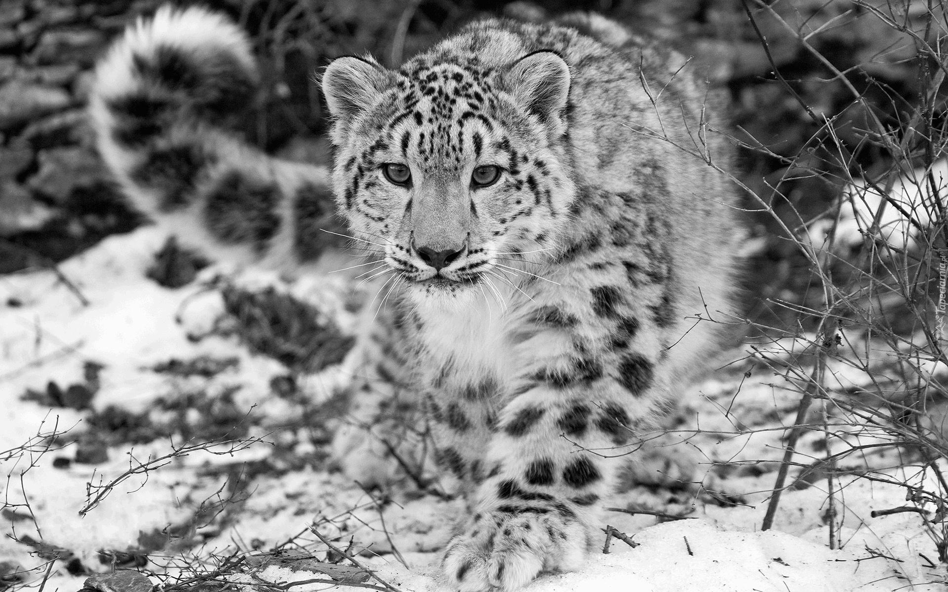 Jaguar, Zima, Czerń, Biel