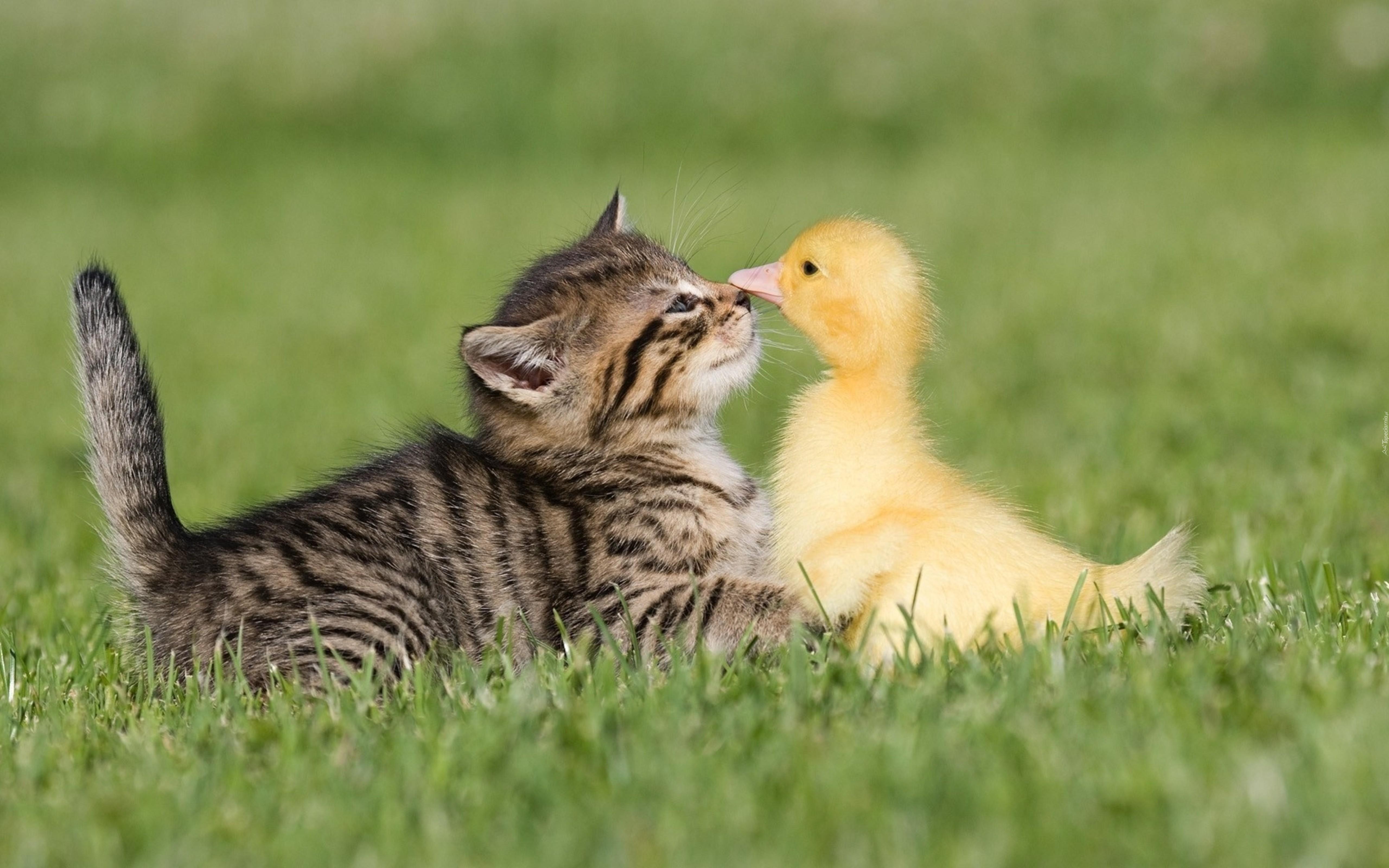 Kaczka, Kot, Trawa