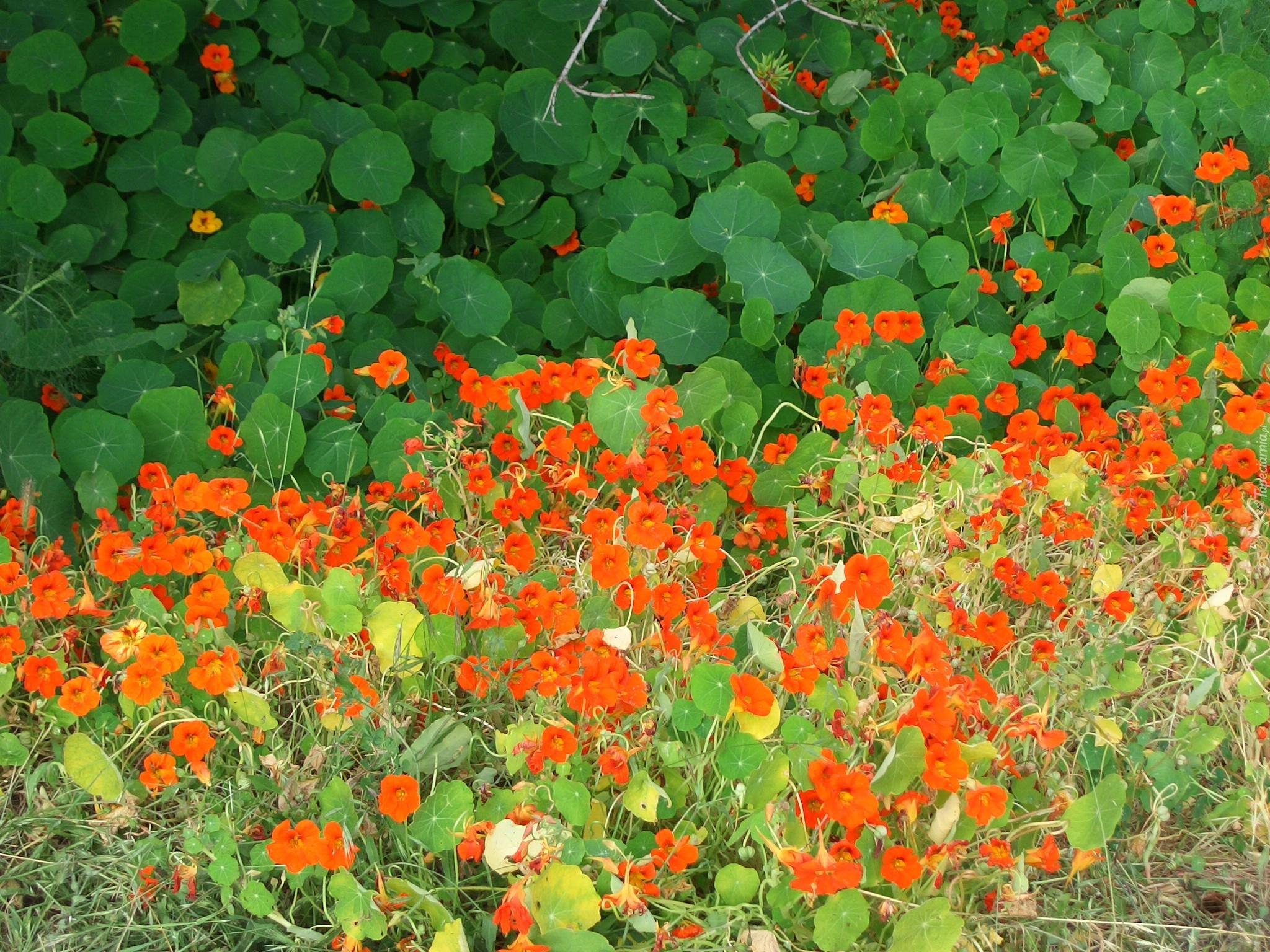Цветы настурция картинки 1