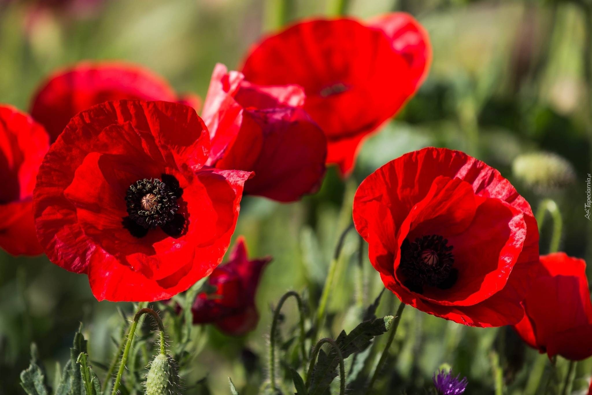 download wallpaper poppies red - photo #14