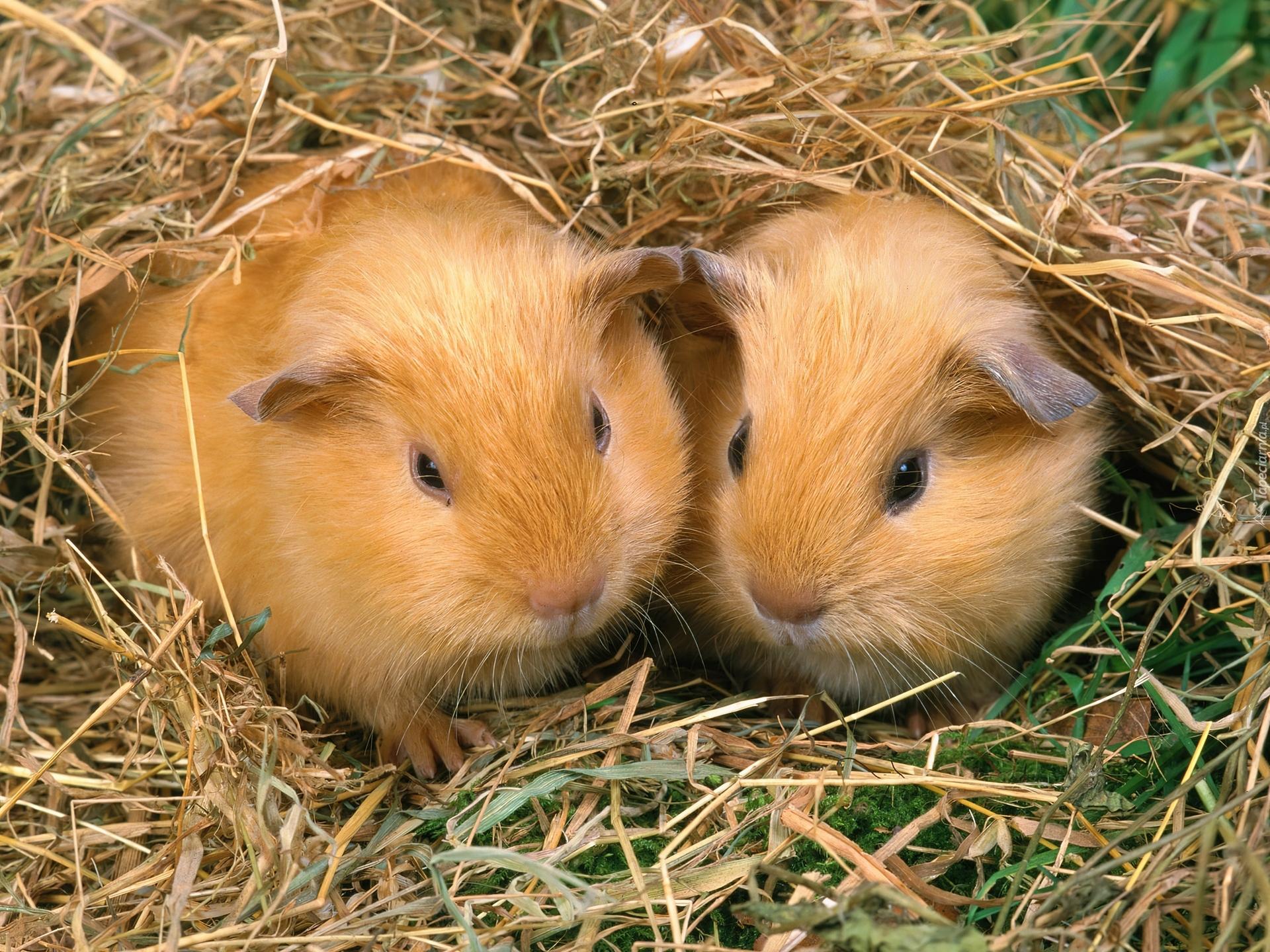 guinea pig wallpaper hd