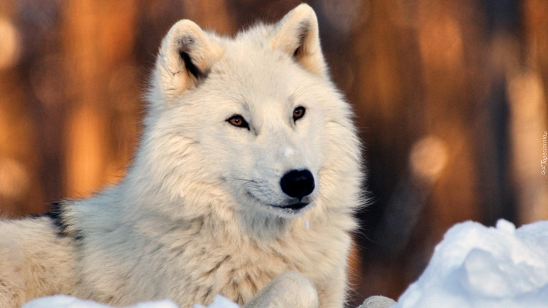 Znalezione obrazy dla zapytania czarny i biały wilk