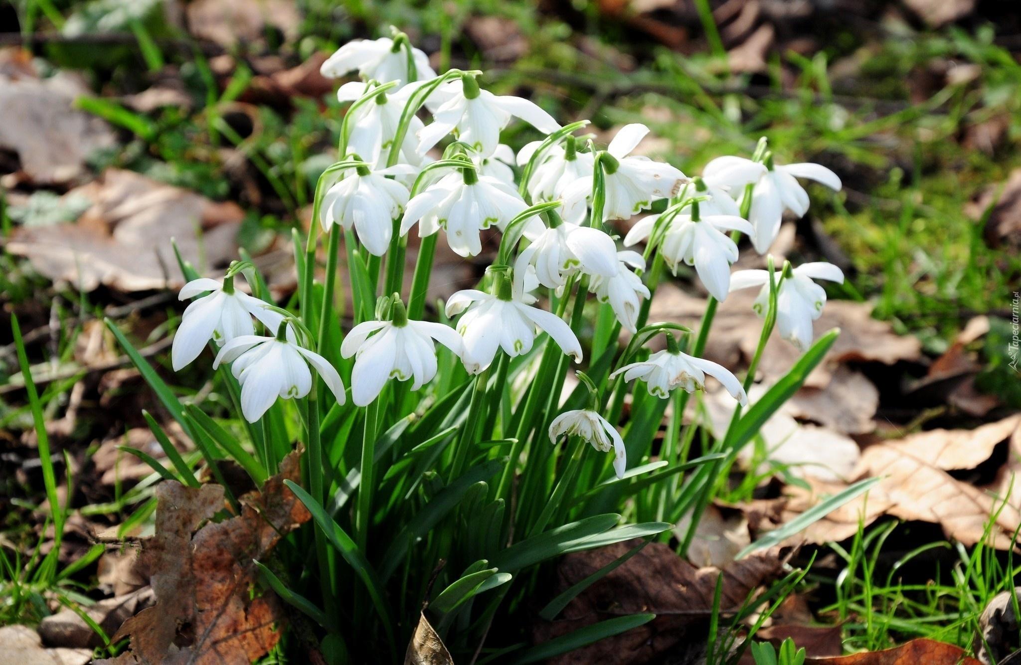 Картинки цветы подснежники 5
