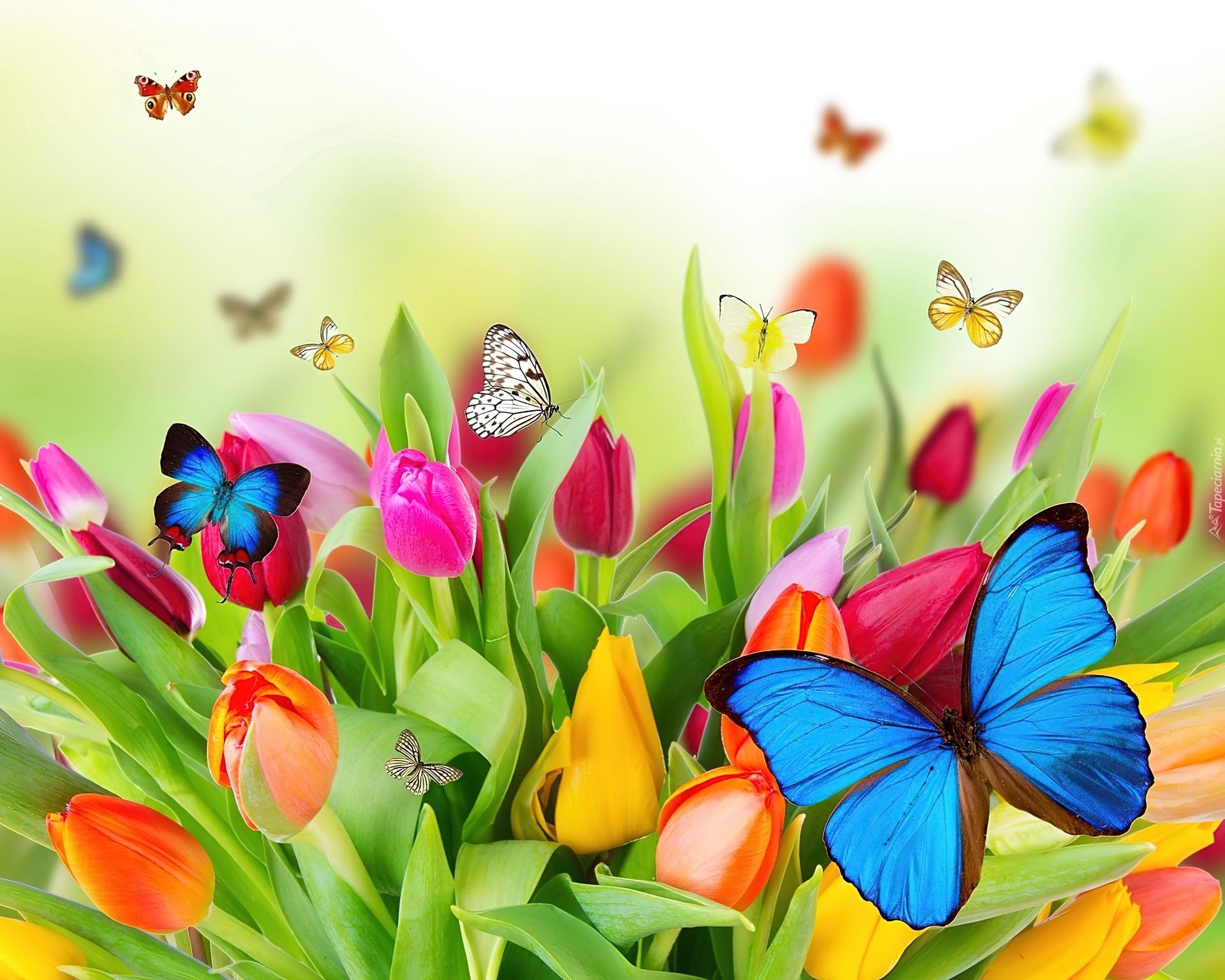 170387_kolorowe_tulipany_motyle