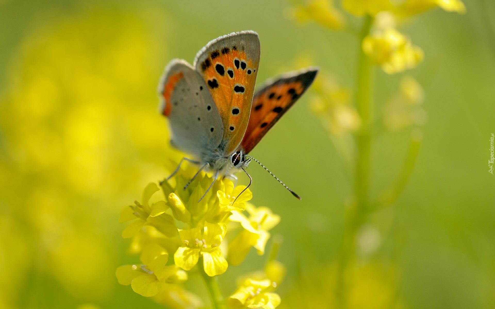 природа макро бабочка цветы желтые  № 1238482 бесплатно