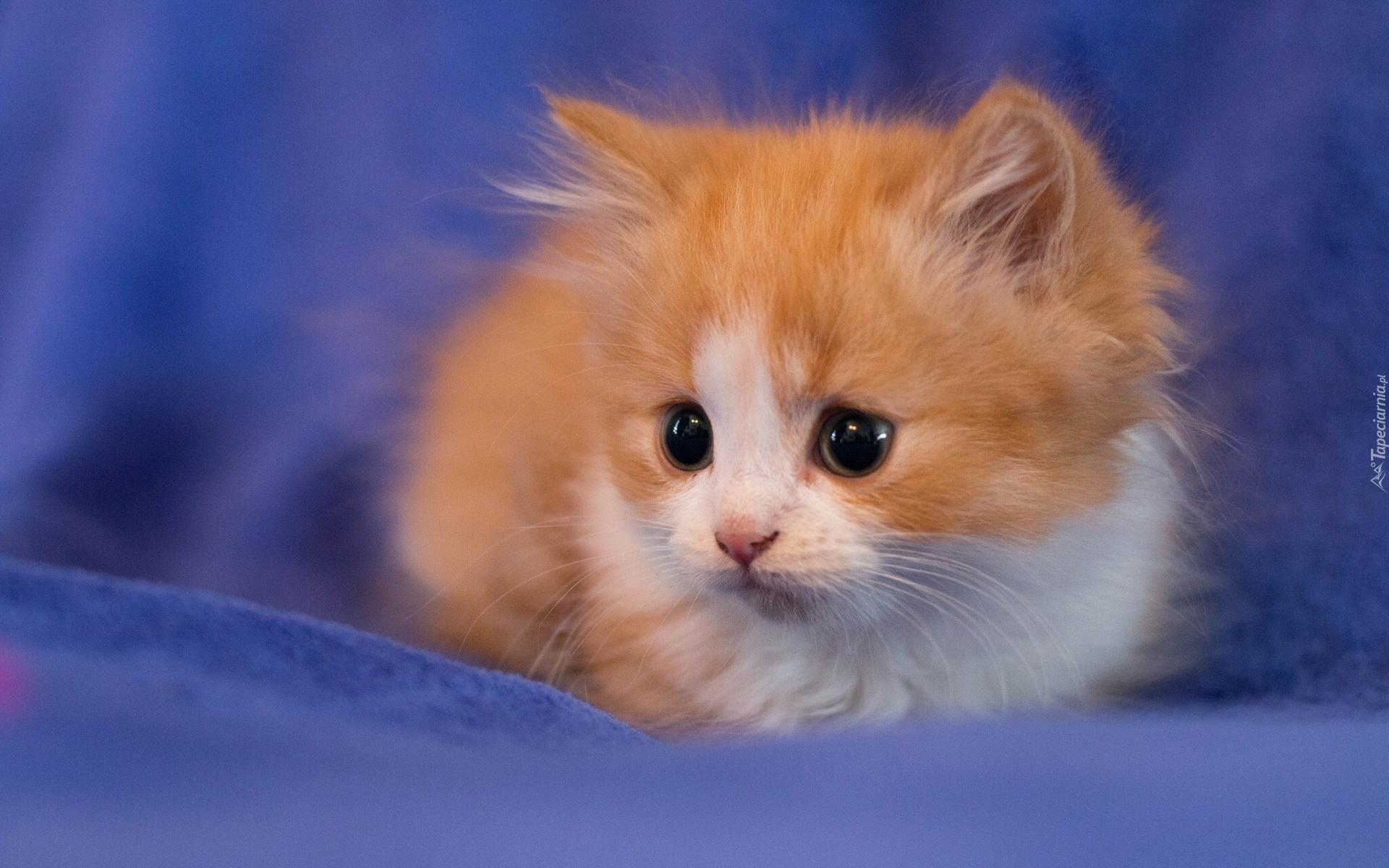fluffy kitten hd wallpaper