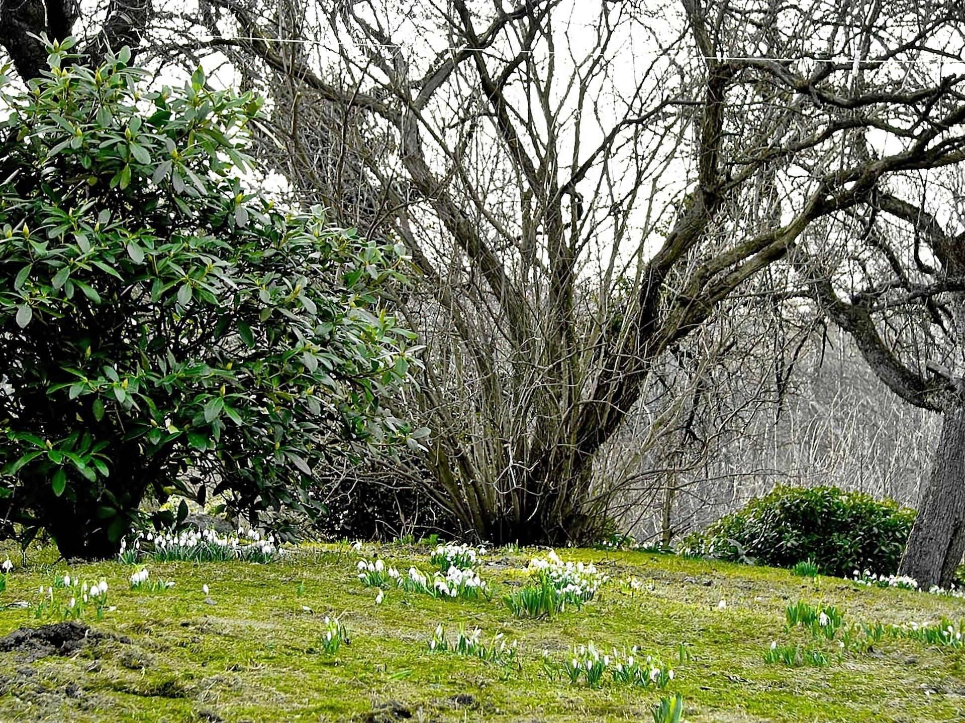 Tapeta Nagie Rozmycie Rododendron Przebi Niegi Drzewa