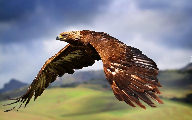 lot, ptaki, ptak drapieżny, natura, jastrzębiec, heraldyka, herb, godło