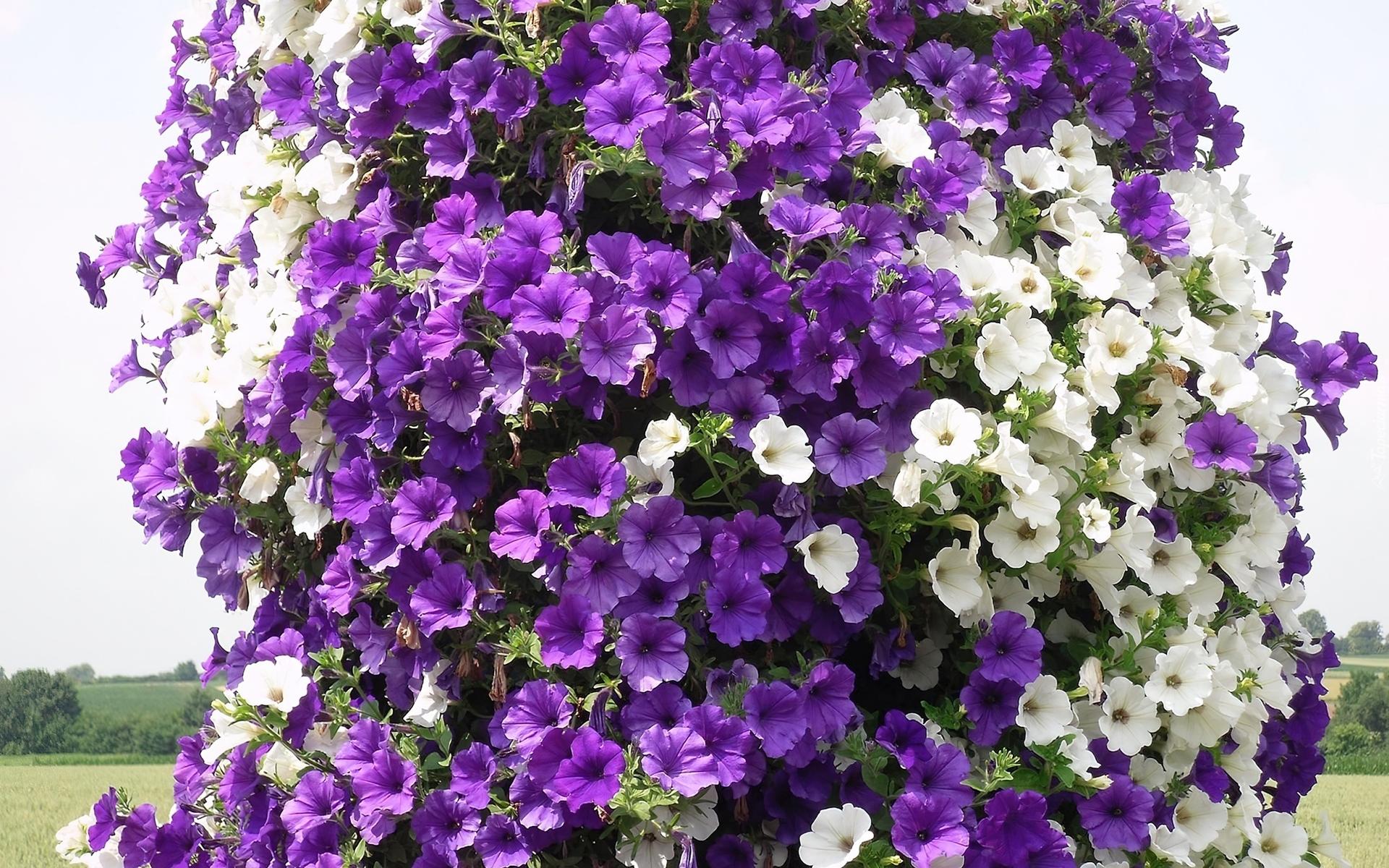 Flores Blancas Png 800 600: Fioletowe, Białe, Petunie