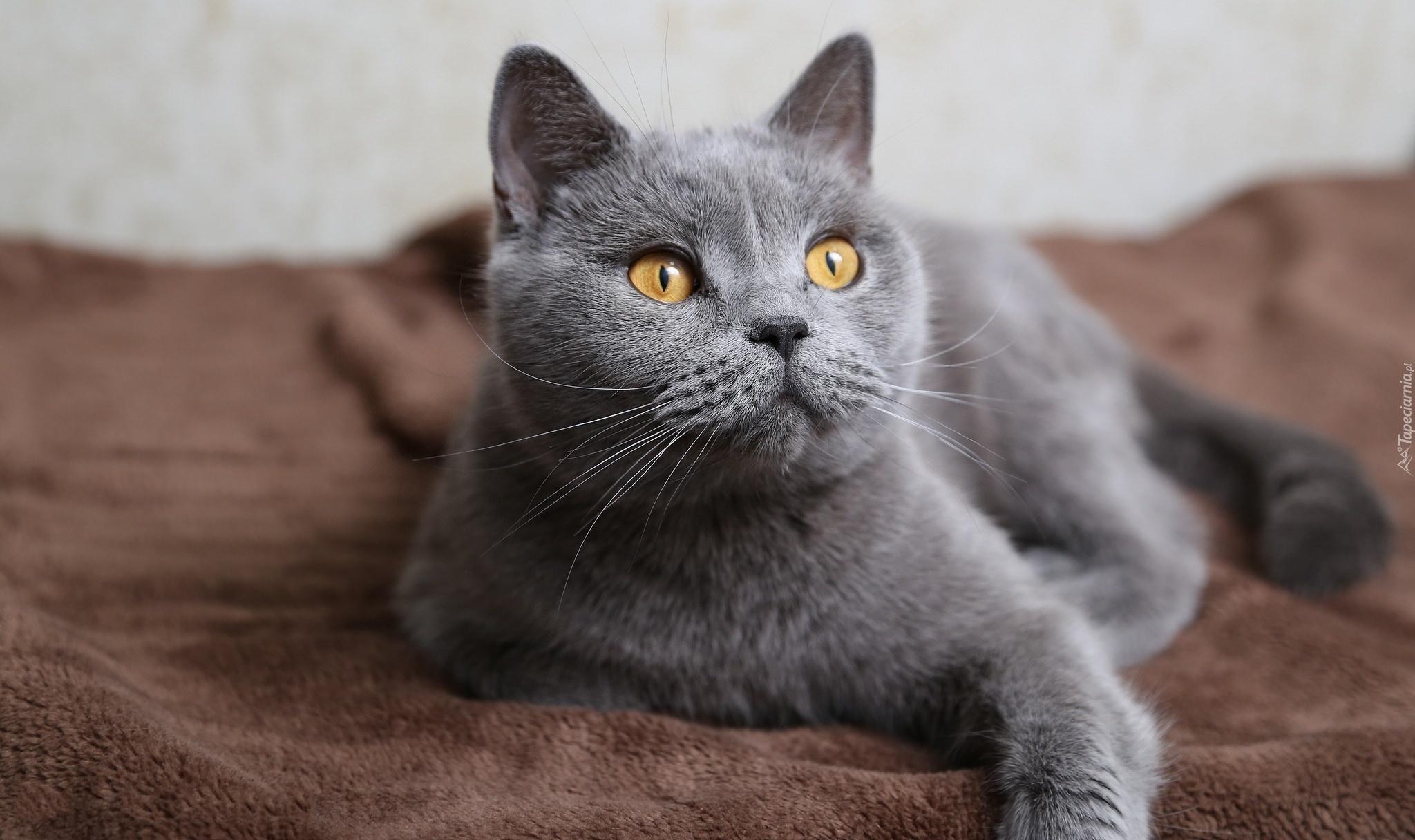 Кот серый картинки