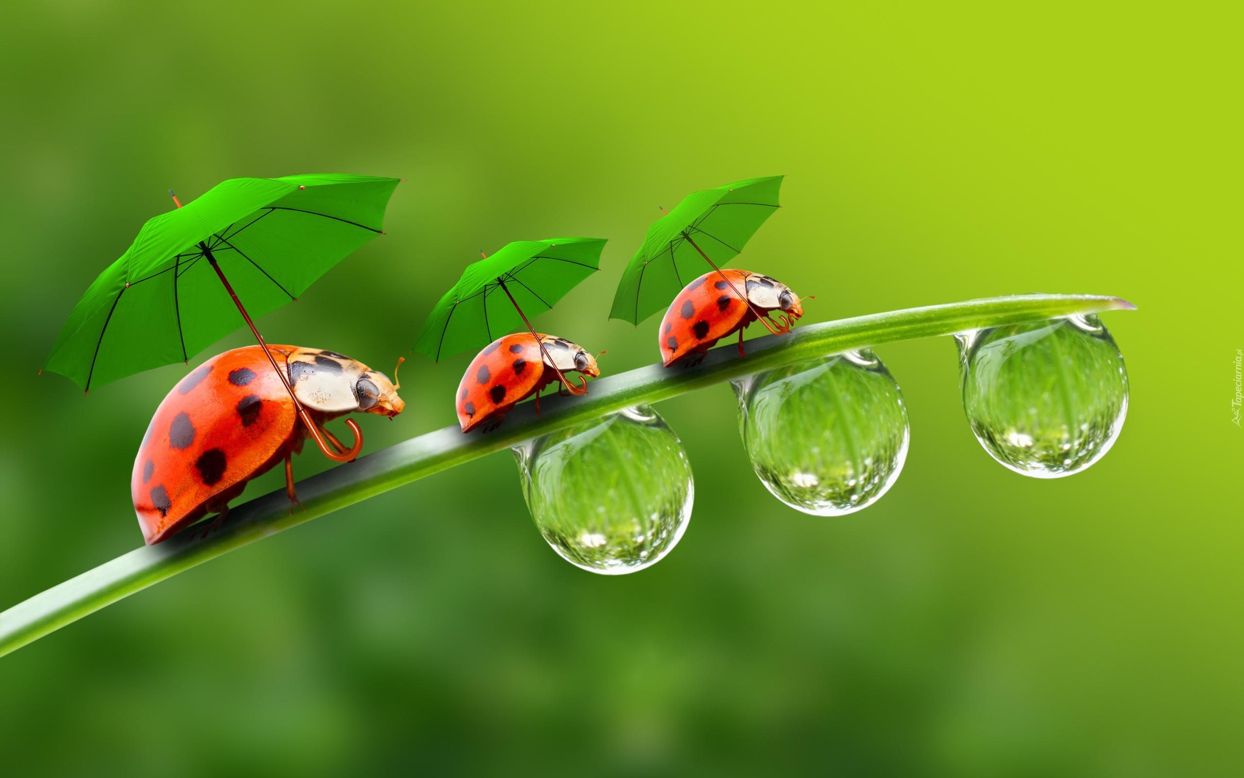 Biedronki parasolki krople wody - Coccinella foto gratis ...