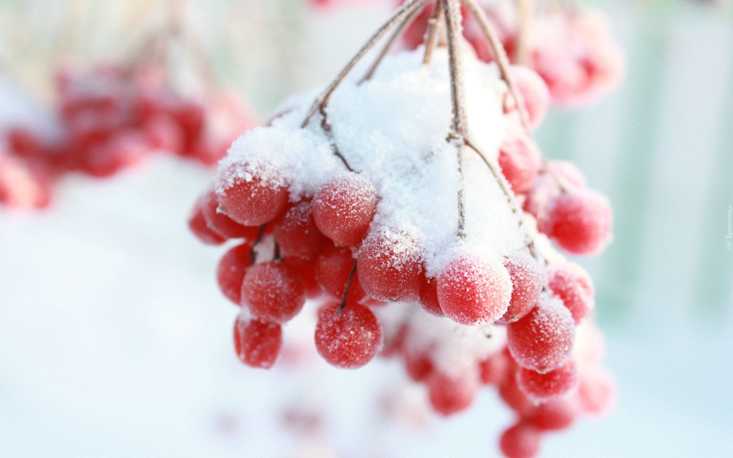 зима рябина обои