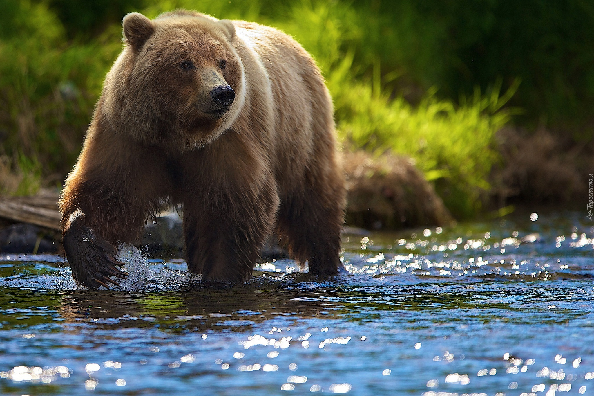 rainfall water and big white bear Robert f kennedy, jr, calls the great bear rainforest the planet's last large expanse of coastal temperate rain forest stretching for more than 250 miles along the coast of british.