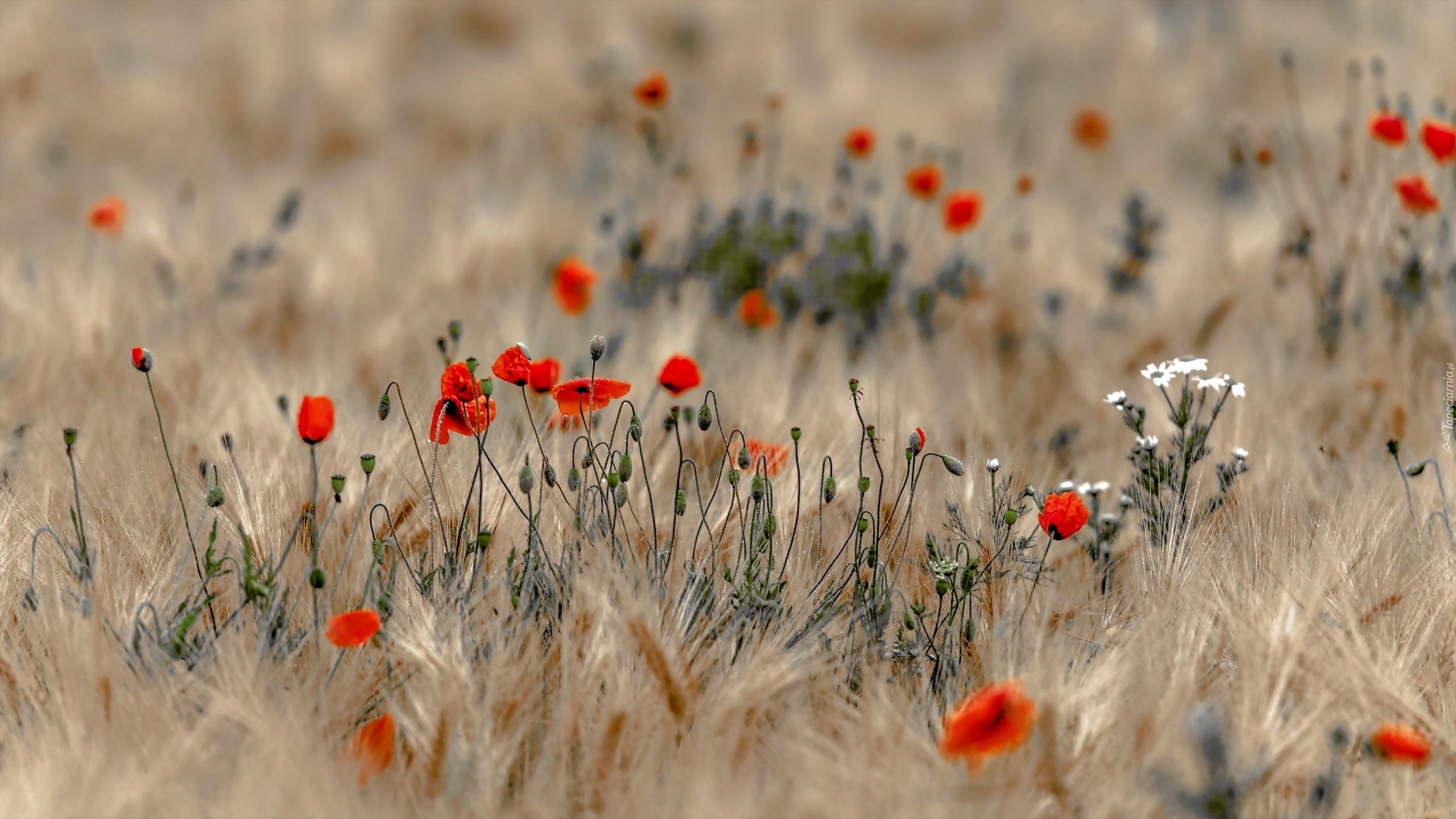 поле маки цветы  № 1877297 без смс