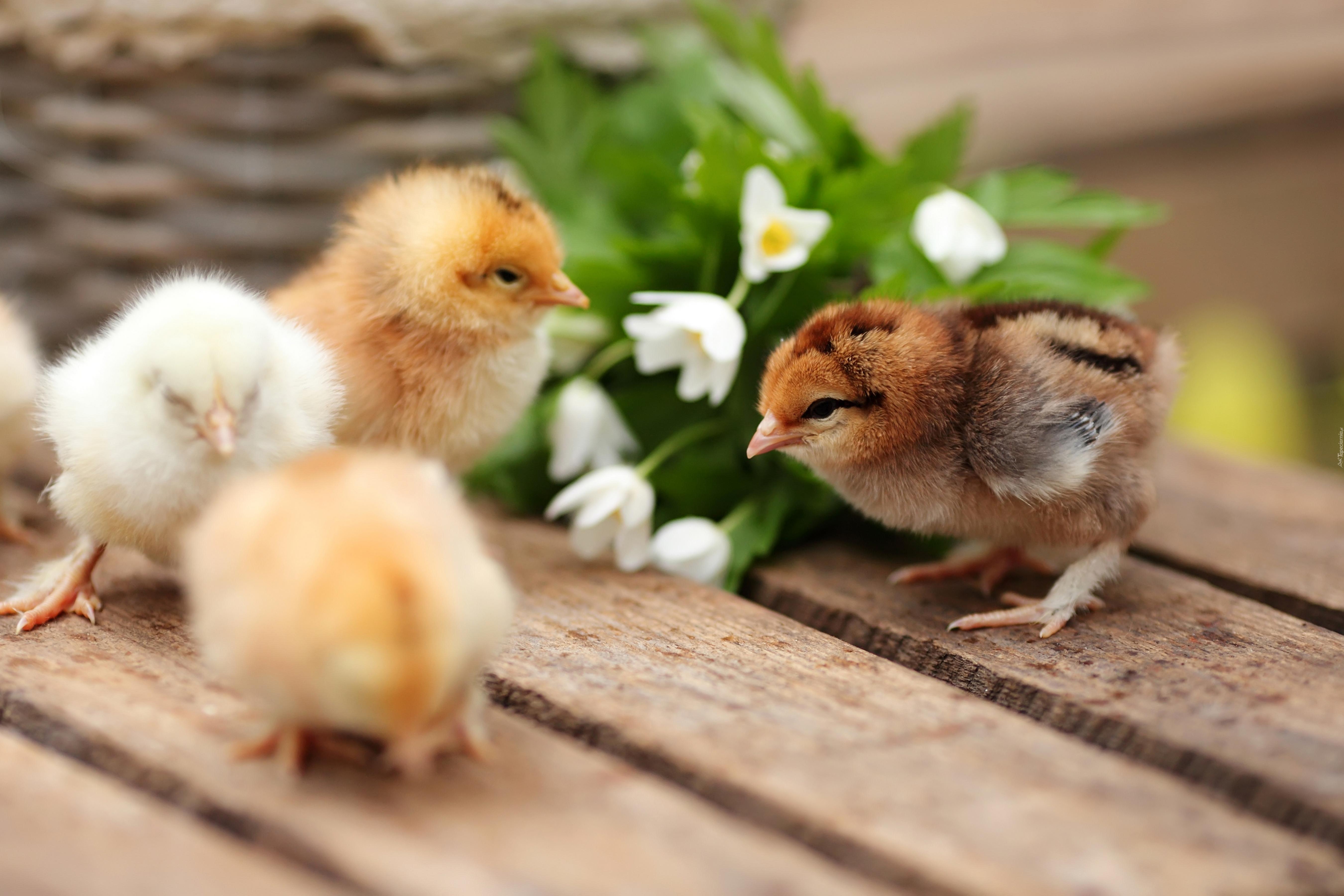Tapety kura - Primavera uccelli primavera colorazione pagine ...