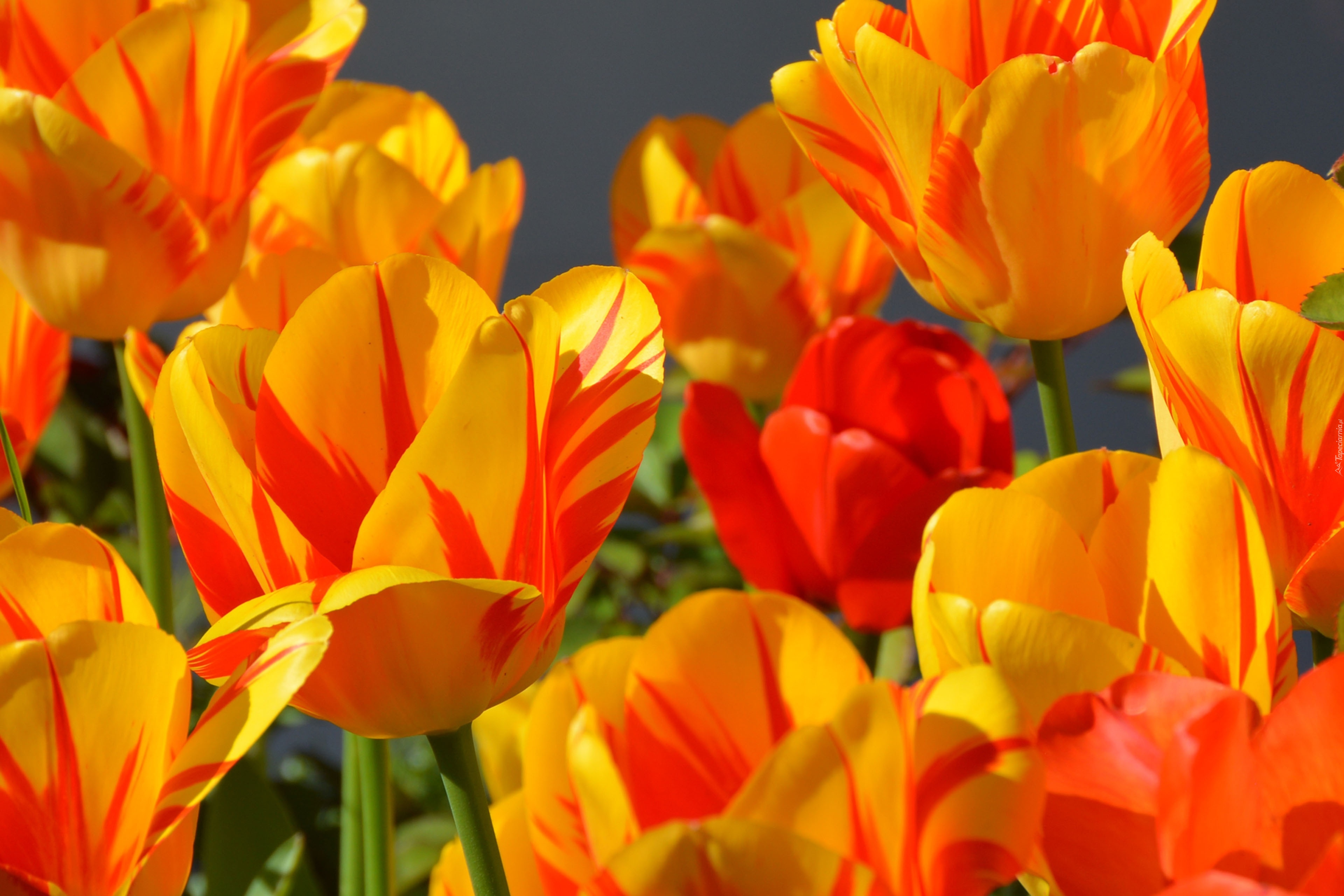 Good Morning Orange Flowers : Żółto czerwone tulipany