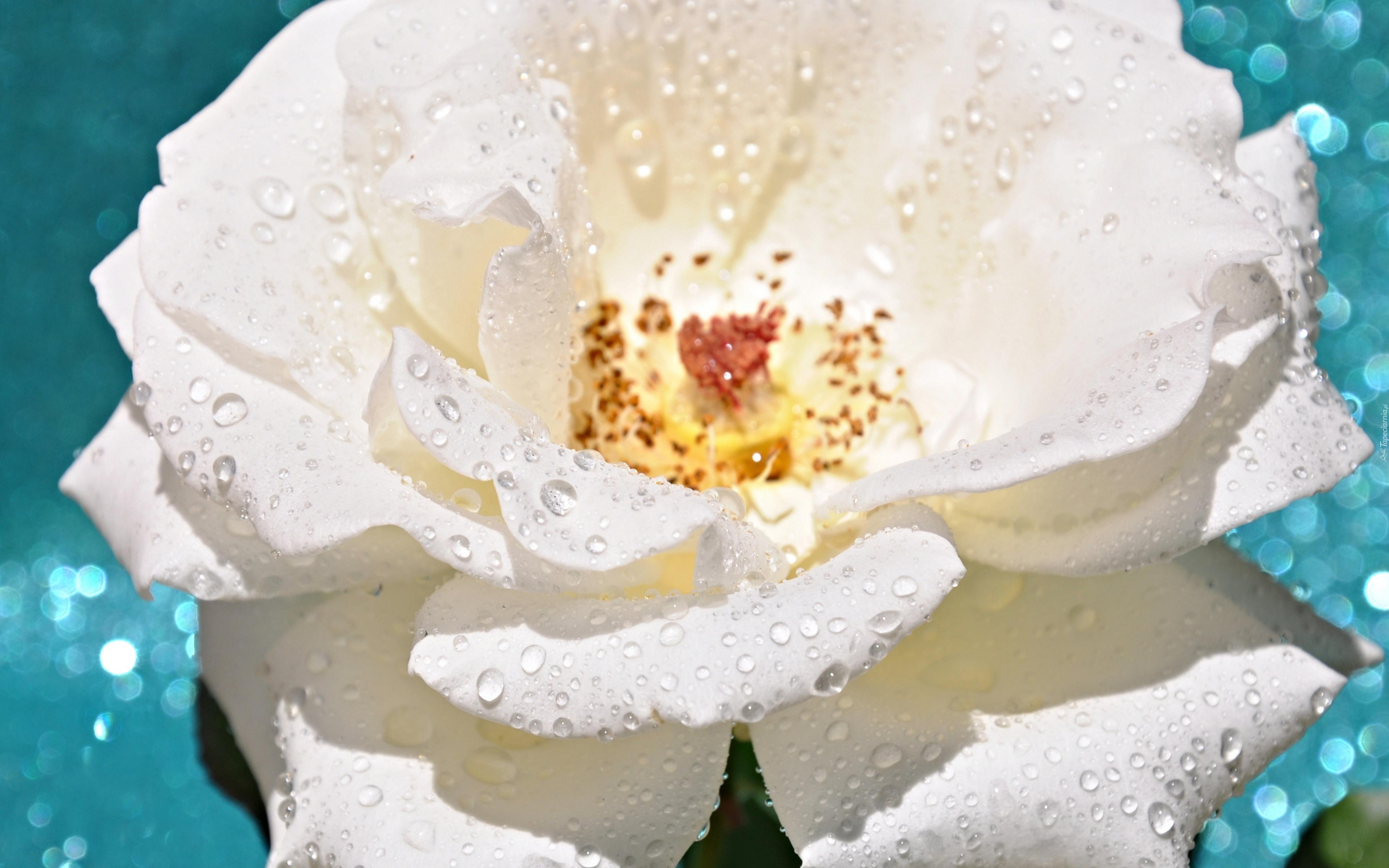 Роса на лепестках розы  № 2451498 бесплатно