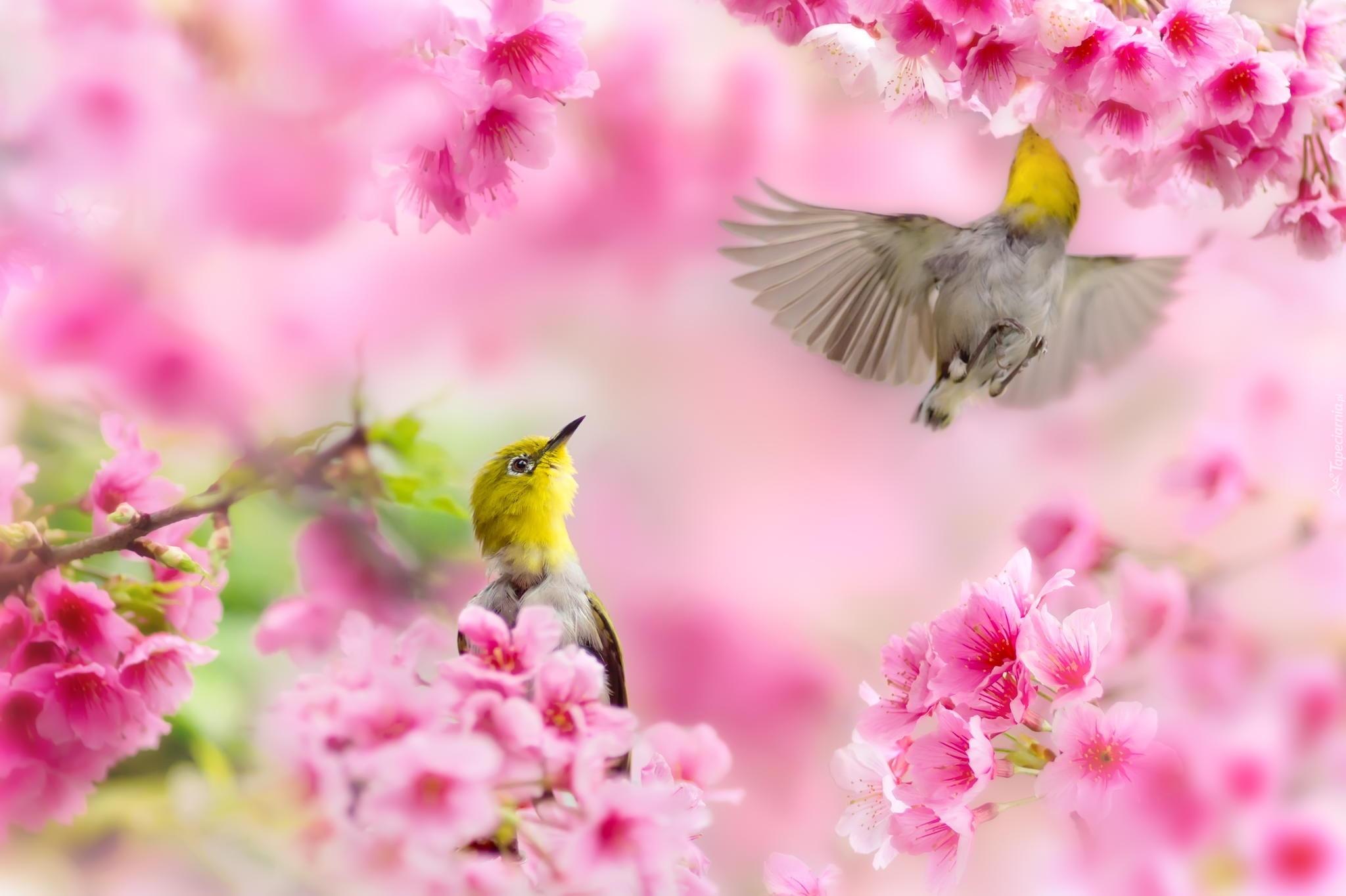 Dwa, Ptaki, Kwiaty, Wiosna