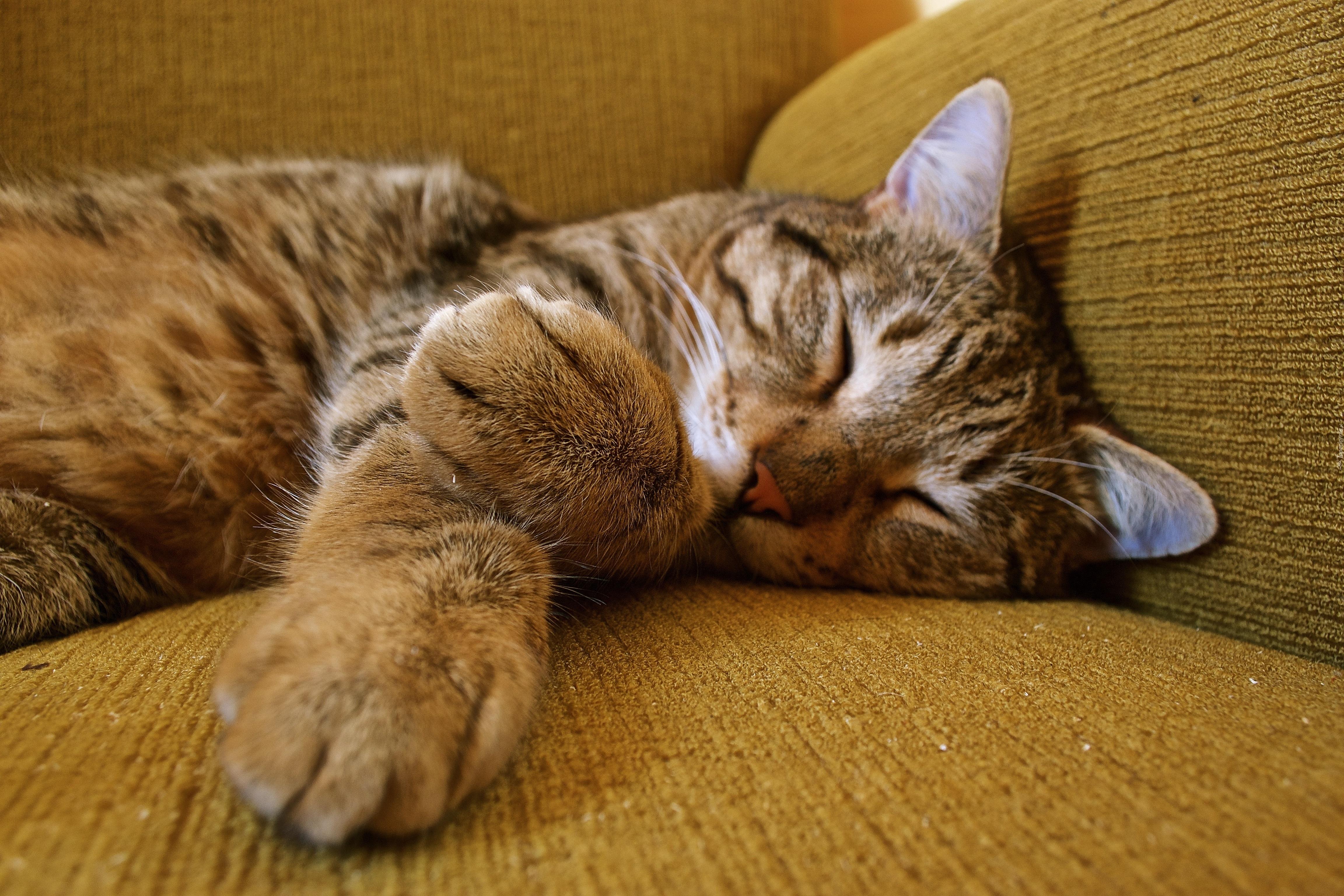 Спящий кот  № 1059168  скачать