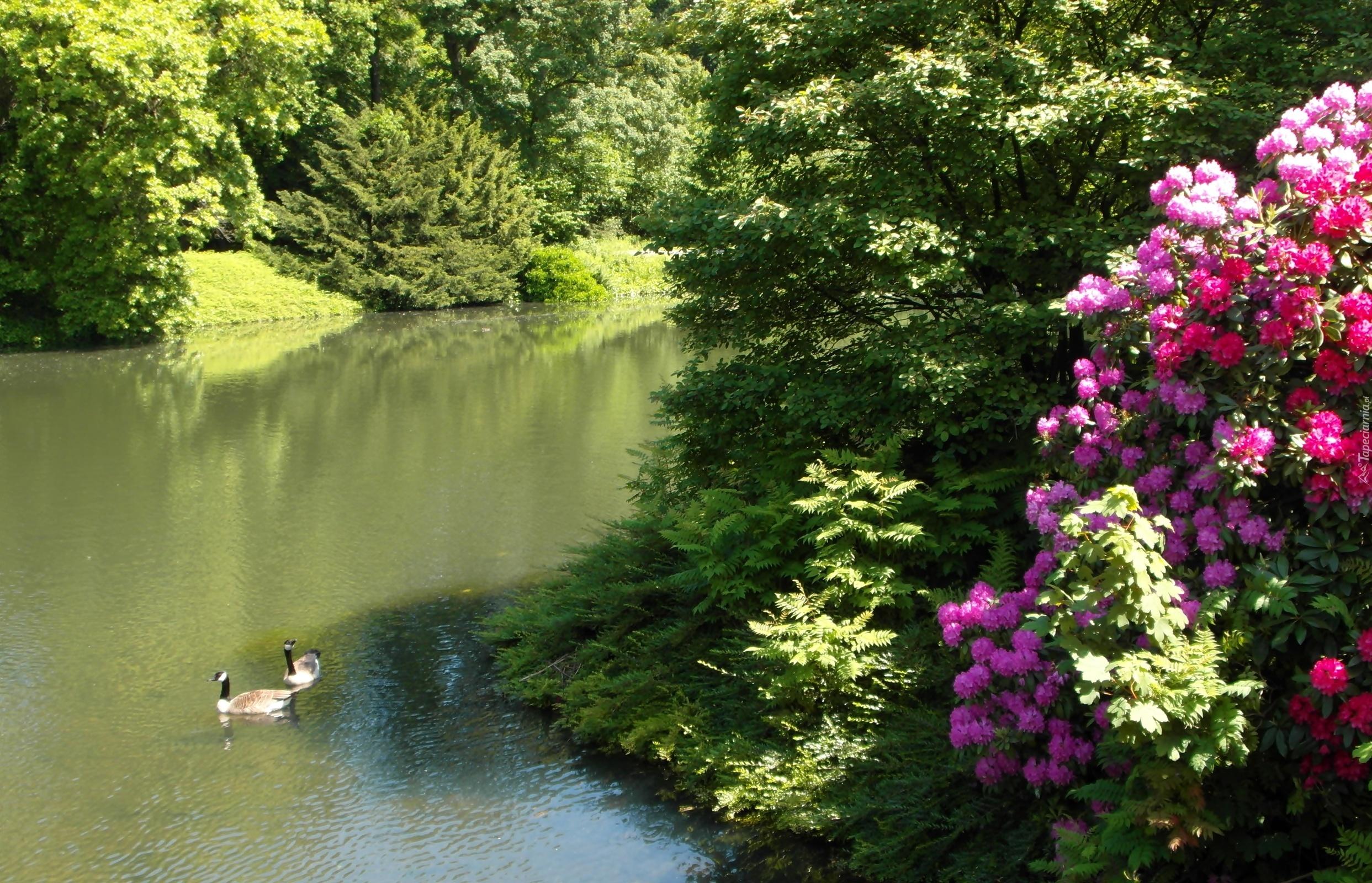 grugapark essen staw kaczki krzewy rododendron niemcy. Black Bedroom Furniture Sets. Home Design Ideas