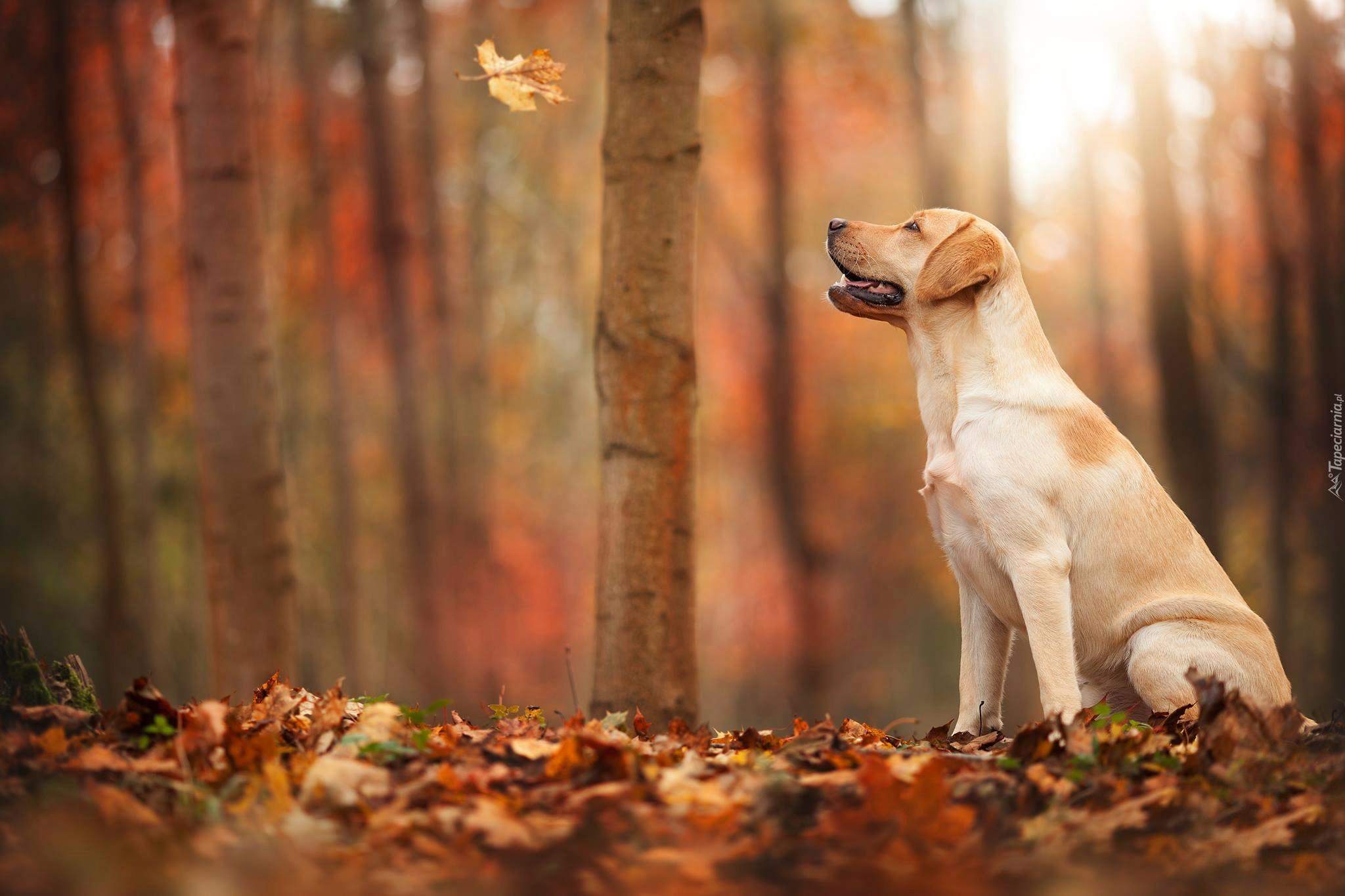 природа животные собака осень листья  № 2019411 загрузить