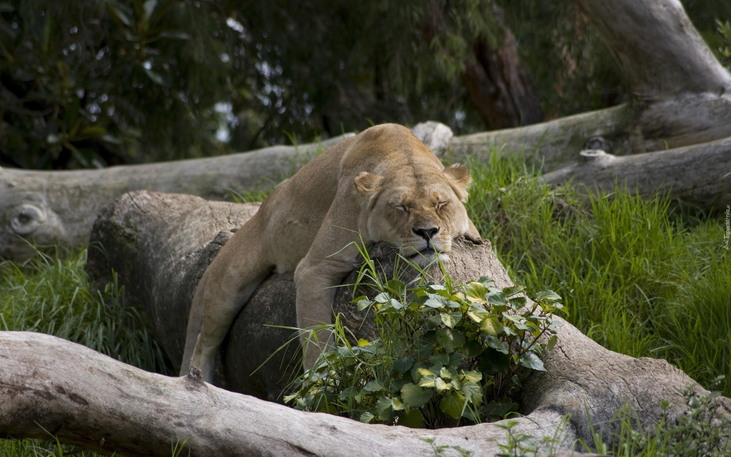 спящая львица фото