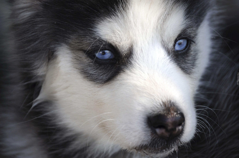 Siberian Husky Szczeniak Niebieskie Oczy