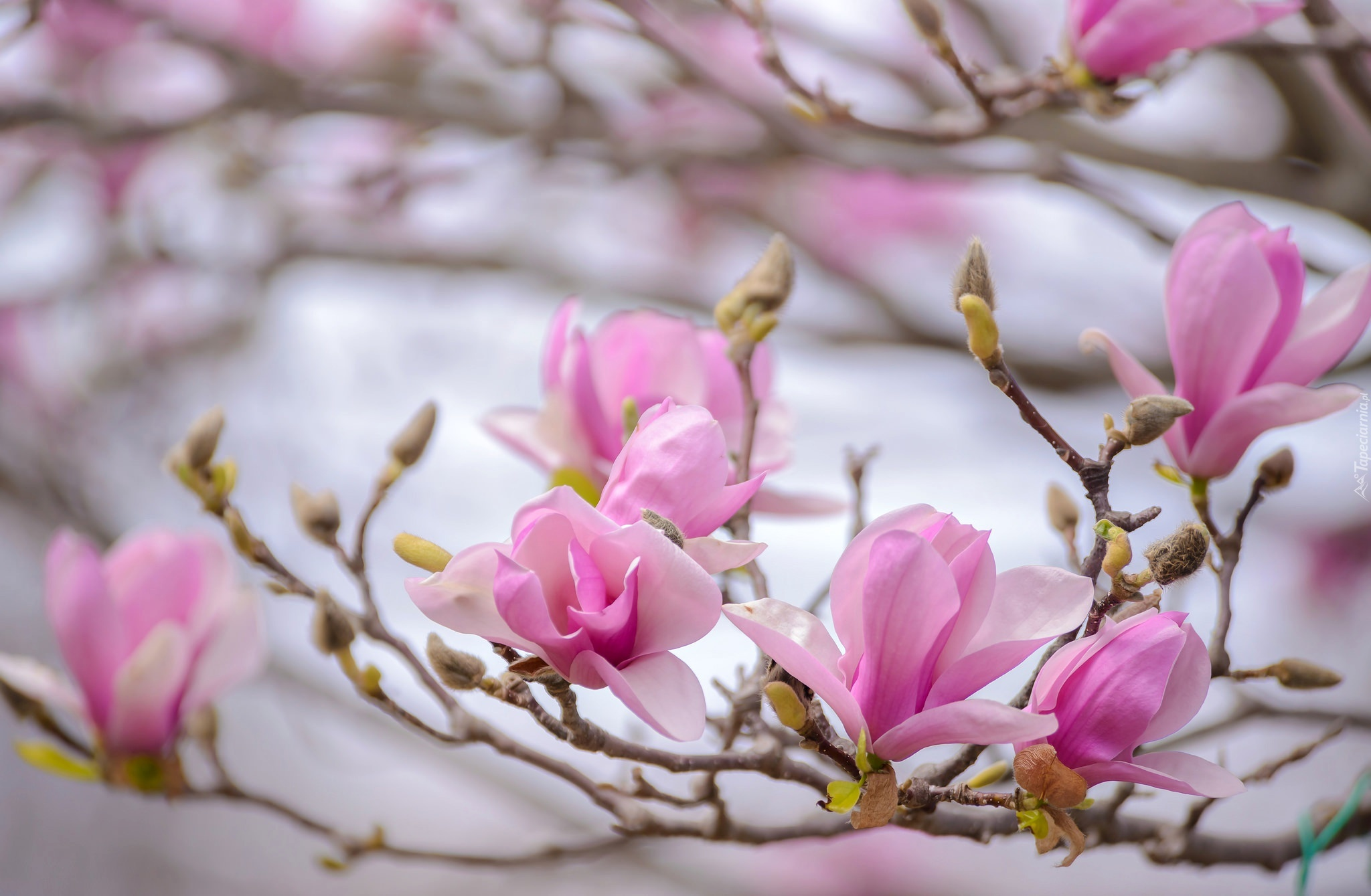 Gałązka wiosennych magnolii