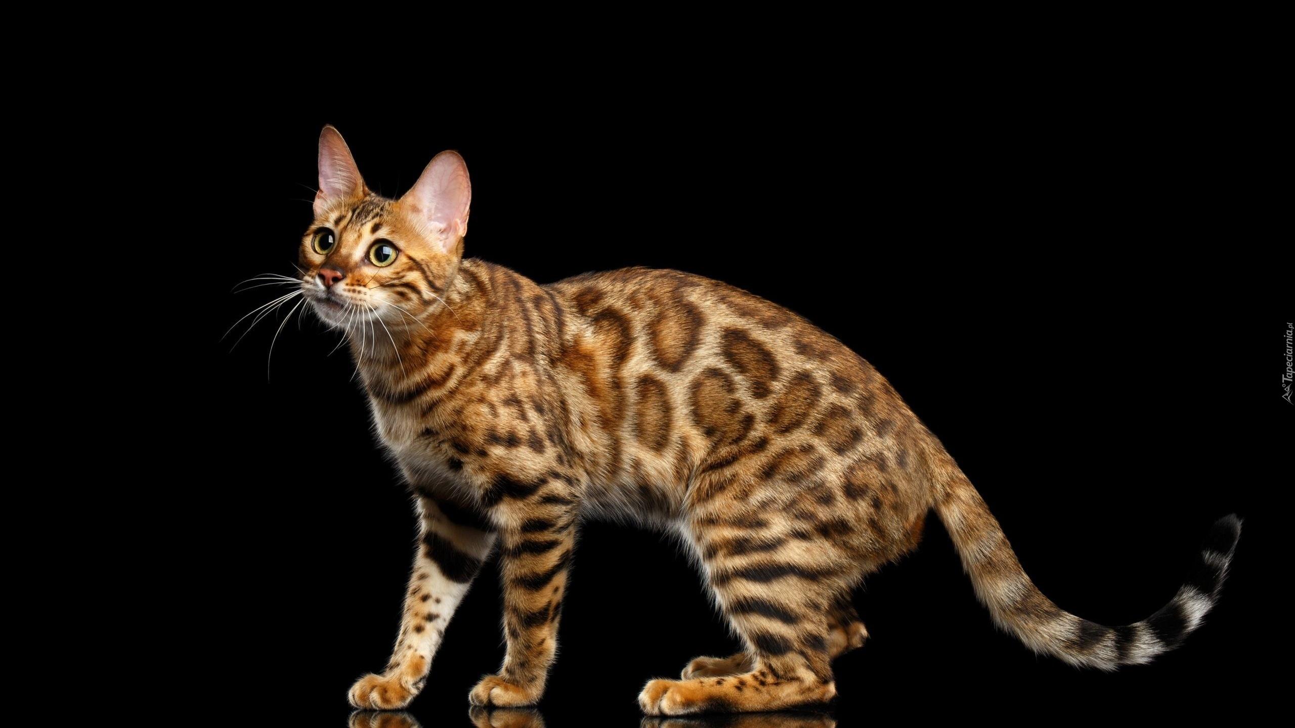 Кошки обои красивые фото кошек скачать