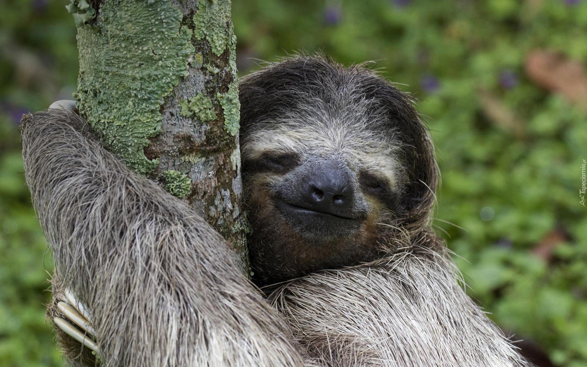 Znalezione obrazy dla zapytania leniwiec