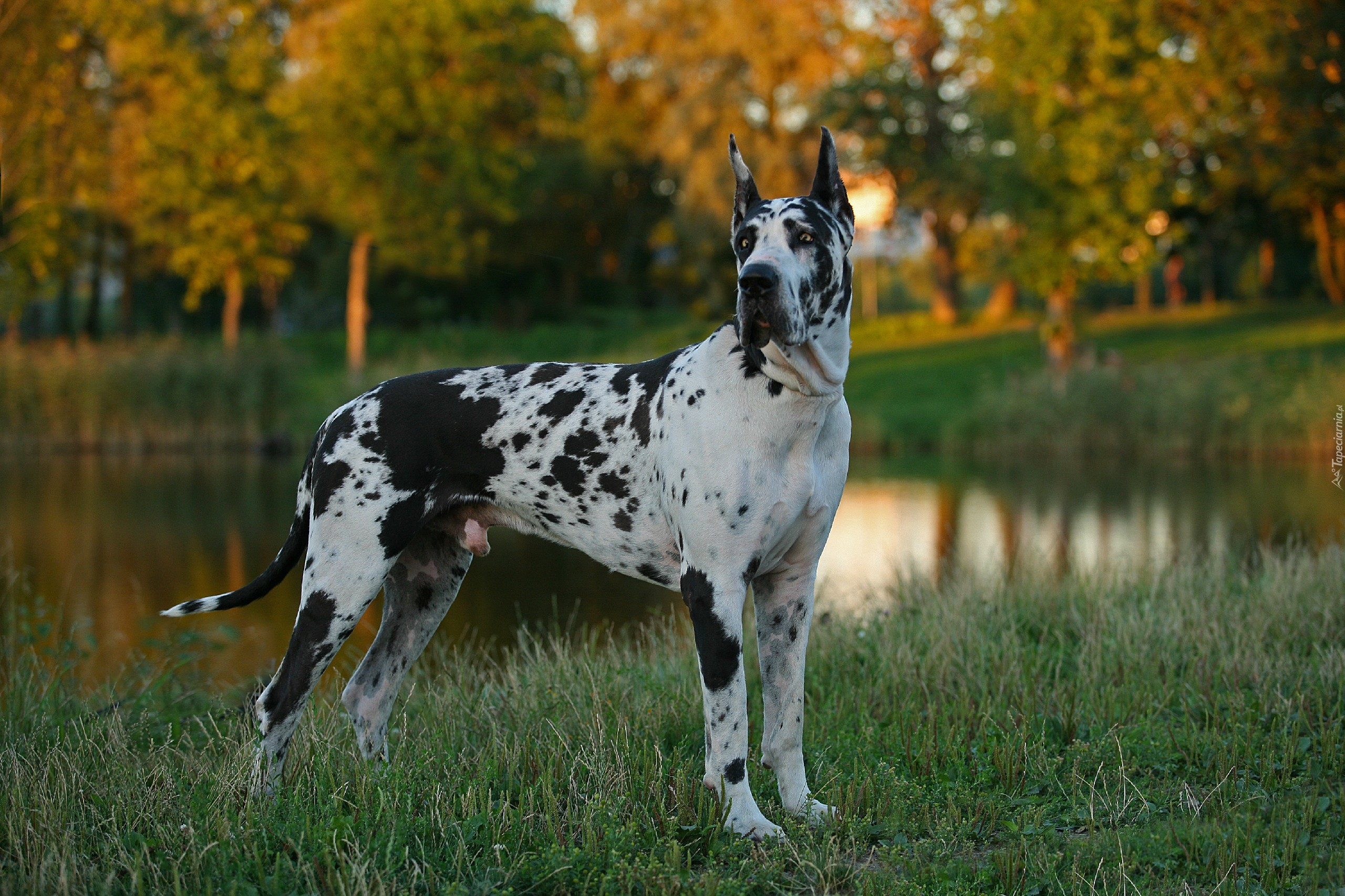 Great Dane Dog Wallpapers: Tapety : Dog Niemiecki