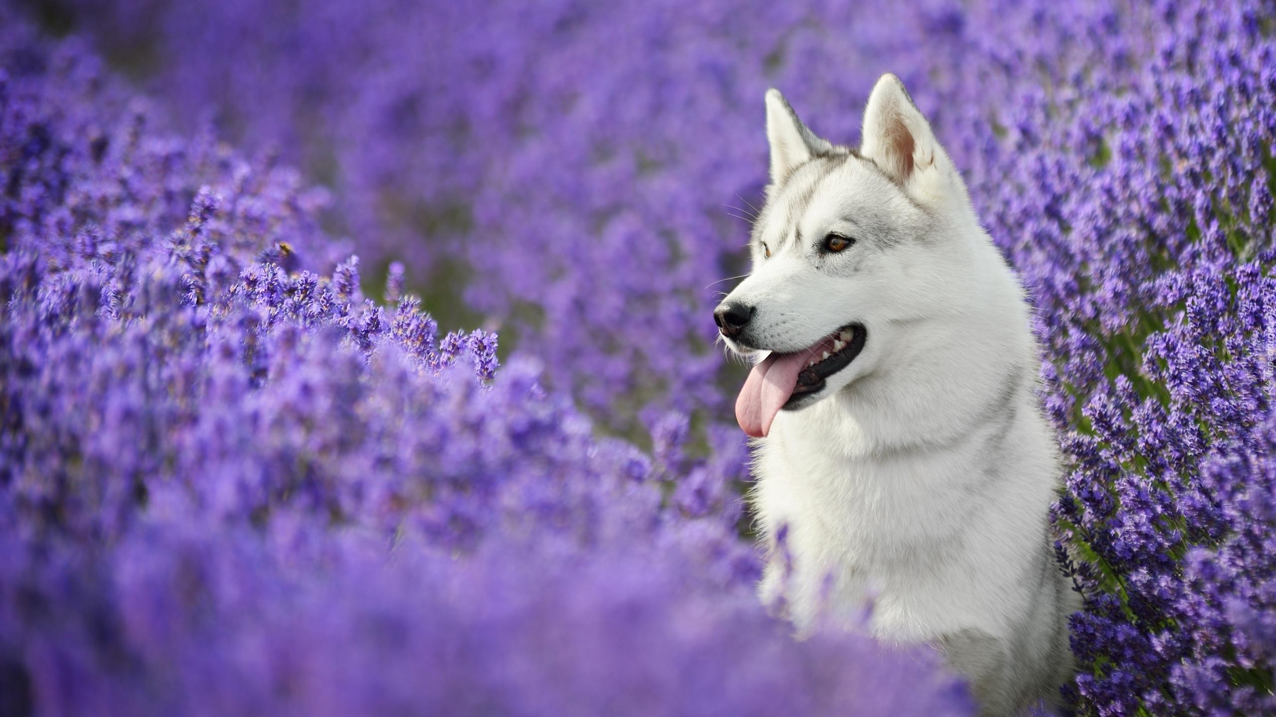 Siberian Husky Pośr 243 D Kwiat 243 W Lawendy