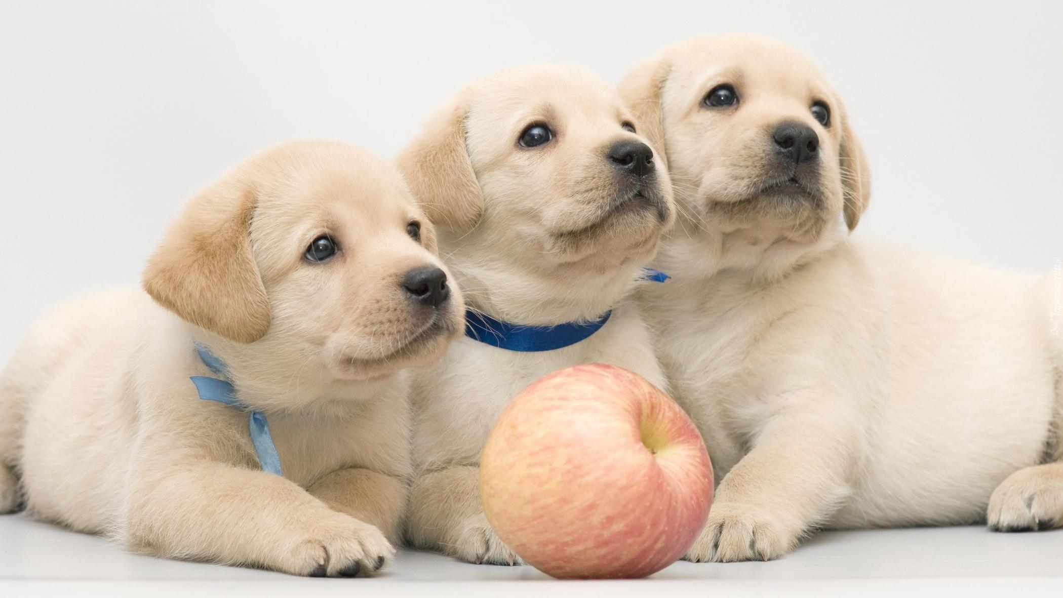 Trzy Labradory Retrievery Z Jabłkiem