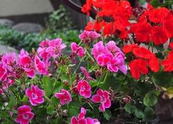 Kwiaty, Pelargonia, Czerwona, Różowa, Liscie