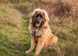 Br�zowy, Pies, Leonberger
