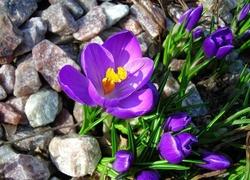 Krokusy, Kamienie, Wiosna
