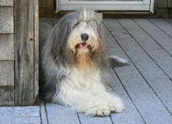 Duży, Bearded collie