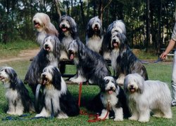 jedenaście,  Bearded collie