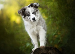 Border collie na pniu drzewa