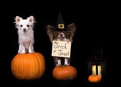 Psy, Chihuahua, Dynie, Lampion, Halloween