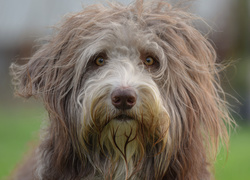 Mordka psa bearded collie