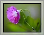 Kwiat, Powój, Krople, Wody, Listki