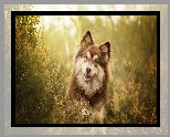 Pies, Fiński lapphund, Mordka, Wrzosy