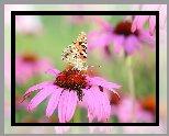 Motyl, Rusałka osetnik, Kwiat, Jeżówka