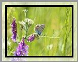 Motyl, Modraszek ikar, Kwiat, Wyka