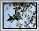 Drzewo owocowe, Okwiecona, Gałązka